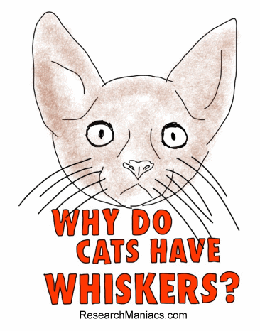 Fine Why Do Cats Have Whiskers Hairstyles For Women Draintrainus
